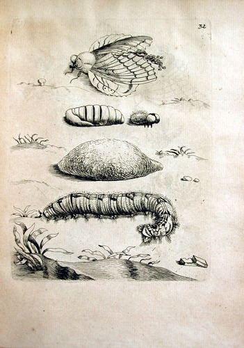 Image of Merian-1717-M-1-32