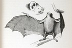 Vampire bat, from the Voyage (1890)