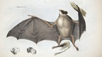 Vampire bat, from the Zoology