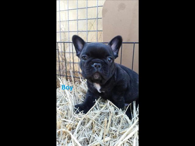 French Bulldog For Sale Brisbane Events Universe