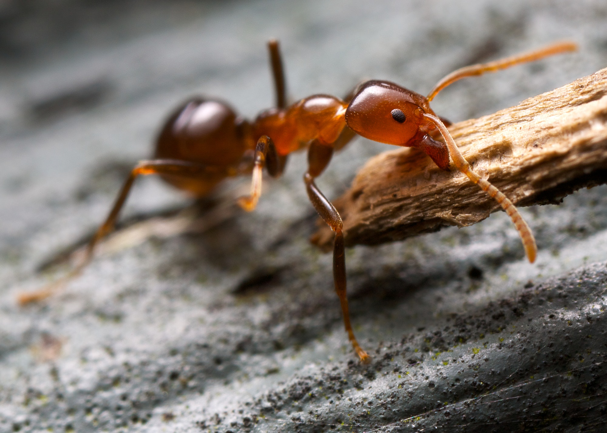 strong ant and bark