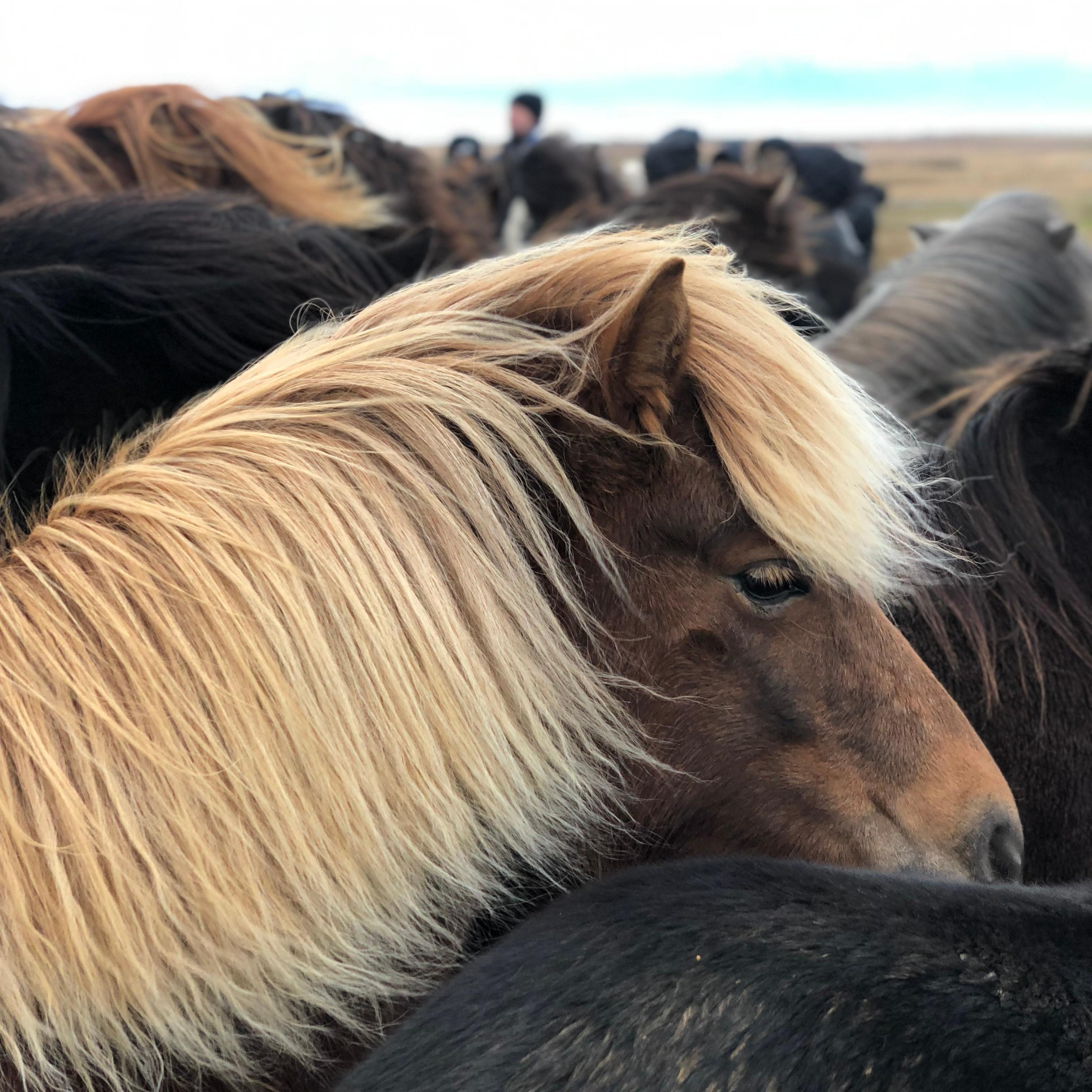 <p>Cissi från Dalarna</p>, <p>om Hästen som inte kunde tölta</p>