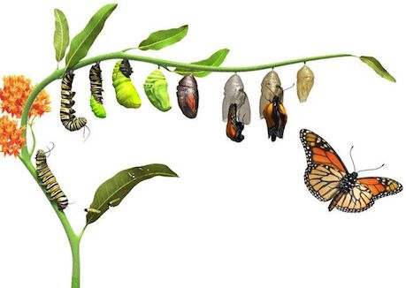 how-does-a-caterpillar-turn-into-a-butterfly.jpg