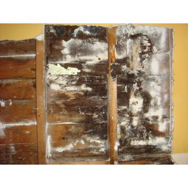 Carpenter Ant damage in wall studs