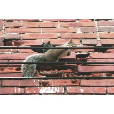 Squirrels can bite through brick