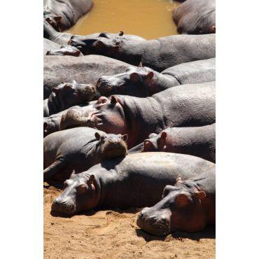Hippos in the Mara River, Kenya