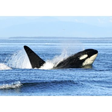 Orca whale in Victoria, Eagle Wing Tours
