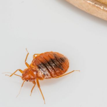 BedBug or a Bed Bug besides a Loonie