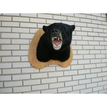 bear full shoulder mount