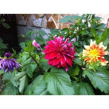 Dahlias flower in summer