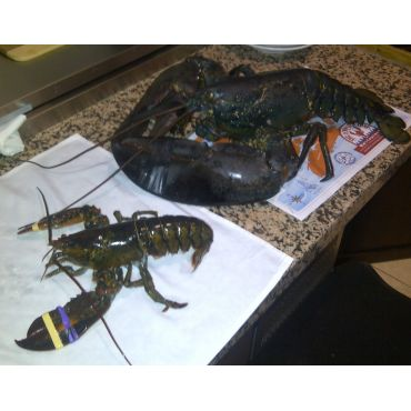 1lb Lobster vs 14 1b Lobster