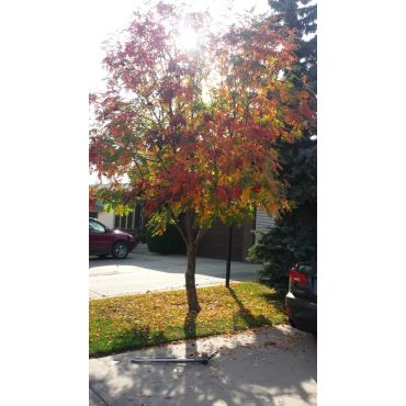 Beautiful Mountain Ash in fall colors.
