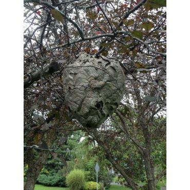 Large nest we exterminated