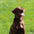 Archway Labradors
