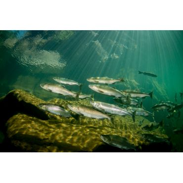 Pink Salmon in Campbell River