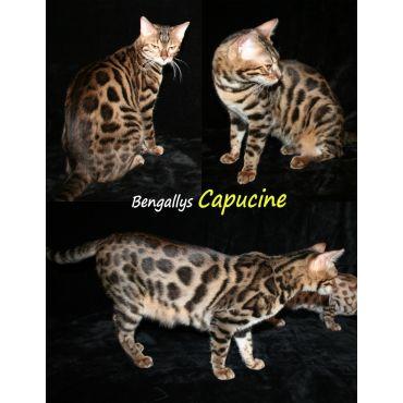 Bengal Cat Montreal Breeder