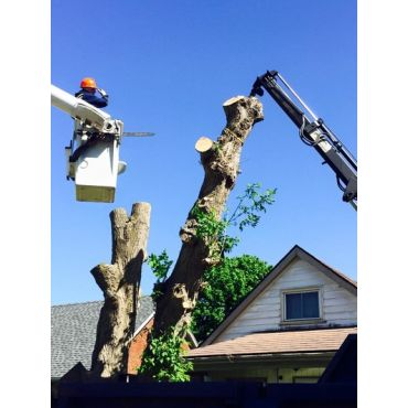 Tree Removal with Bucket Lift