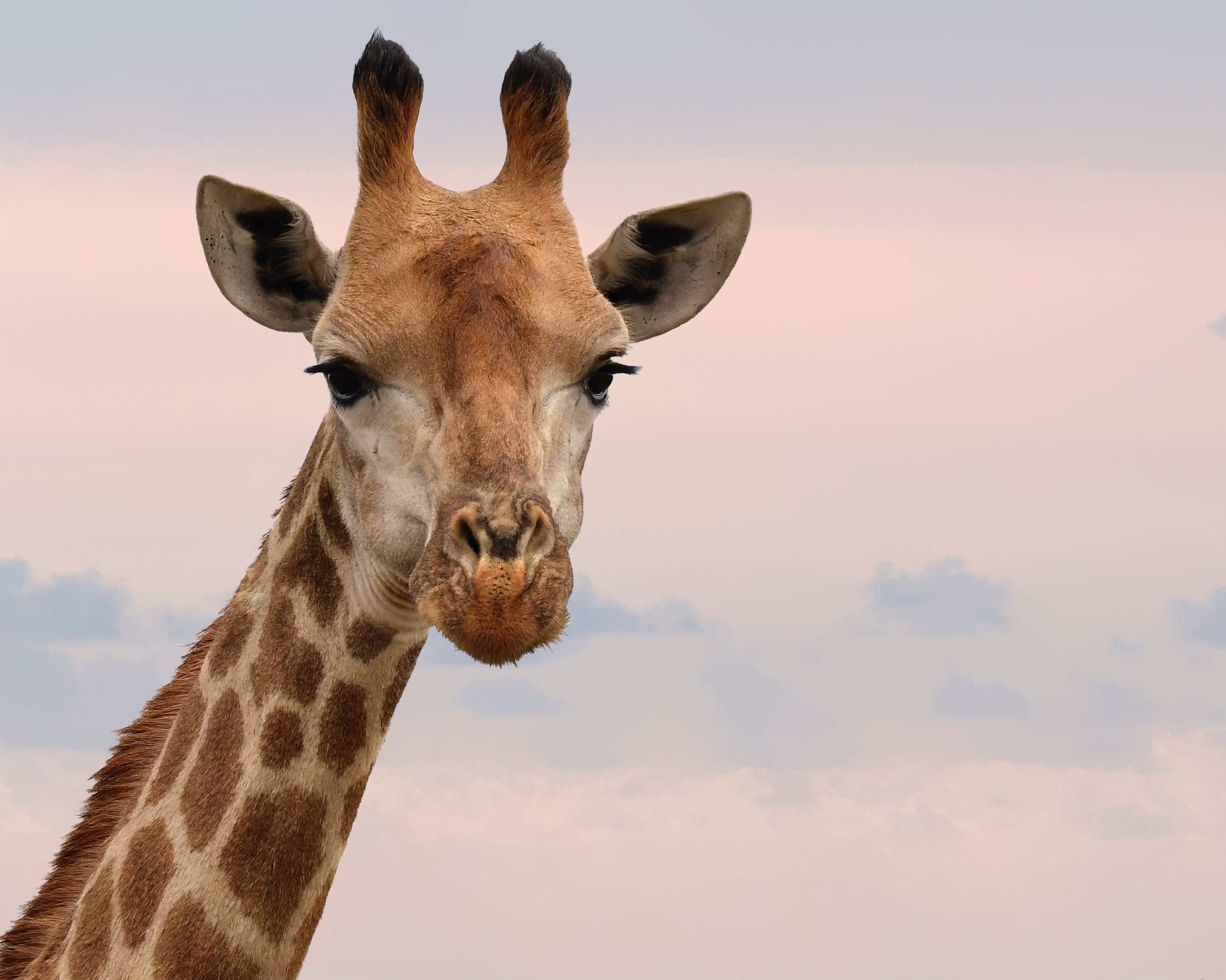 A close up shot of a giraffe's face against a pink and orange cloudy sky at sunset