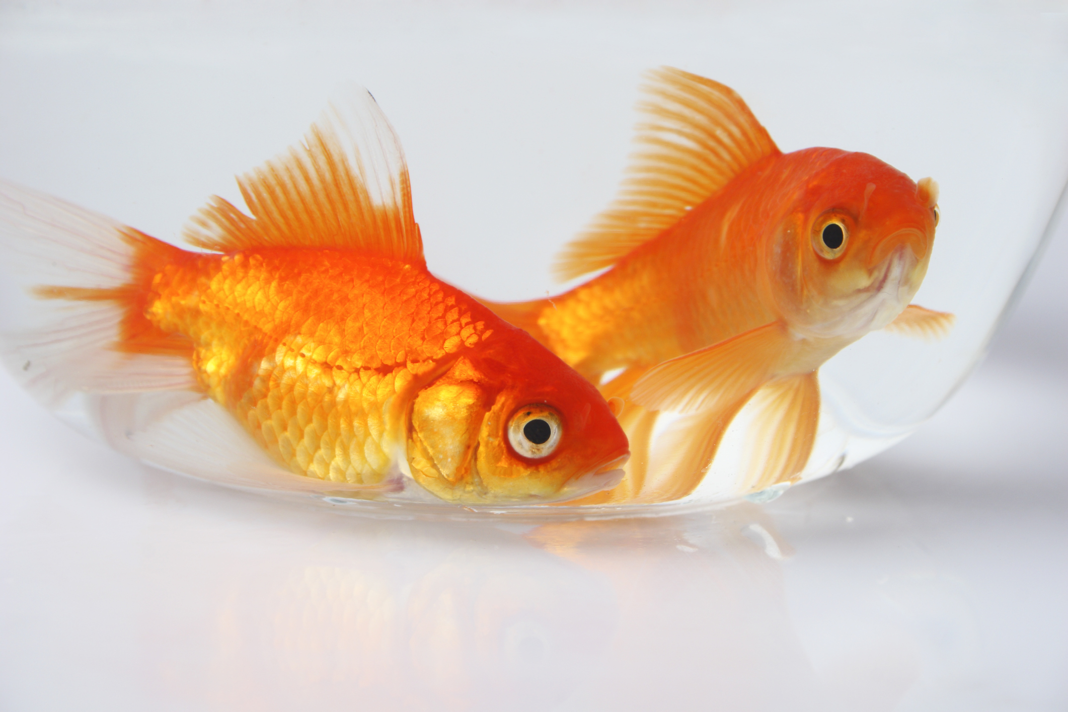 Gadgets For Pets What Do Goldfish Eat Besides Goldfish Flakes Pets