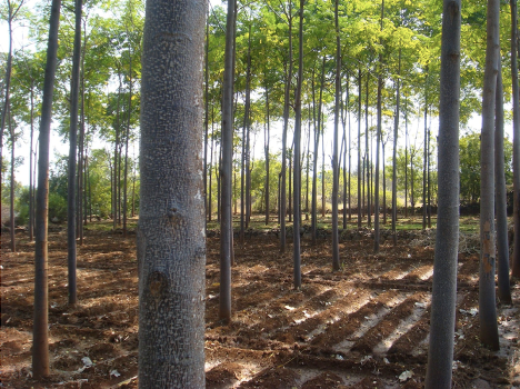 Melia Dubia Plantation, Cultivation