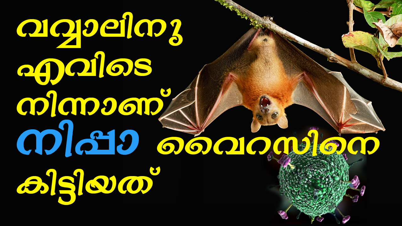 How bats became the host for Nipah virus