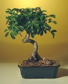 Easy to Care for and Beginner Recommended Bonsai Trees | Bonsai Boy of New York