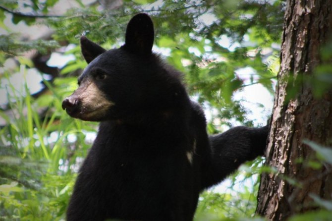 Less Than 20 Days Until The Montana Spring Black Bear Hunting Season Opens