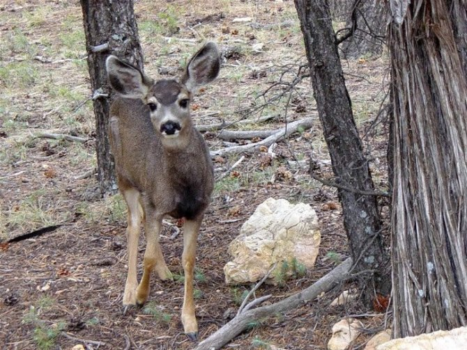 Mule Deer Boosting Population In West Texas