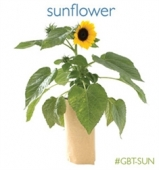 Sunflower in a Bag