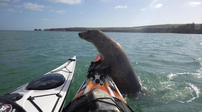Wonderful Video Of Seal Climbing On A Kayak