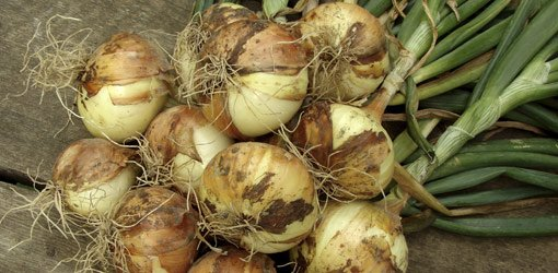 Grow Onions In Your Garden