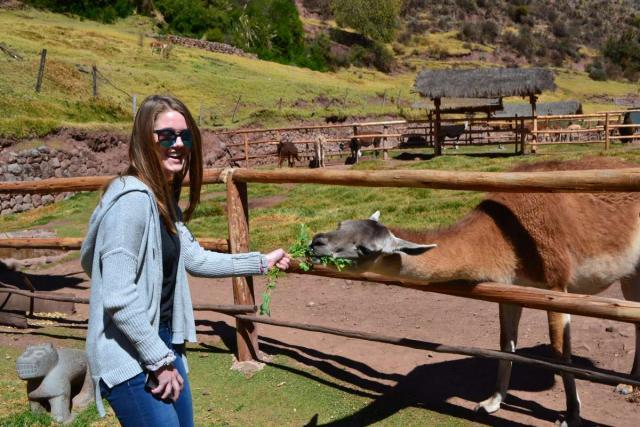 A student feeds an alpaca on her teen service tour of Peru.