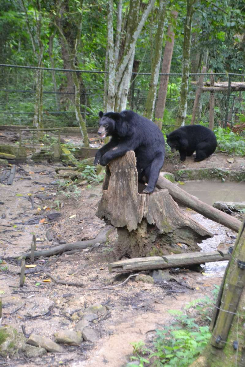 Black bears seen by teenage travelers during summer youth program in Southeast Asia