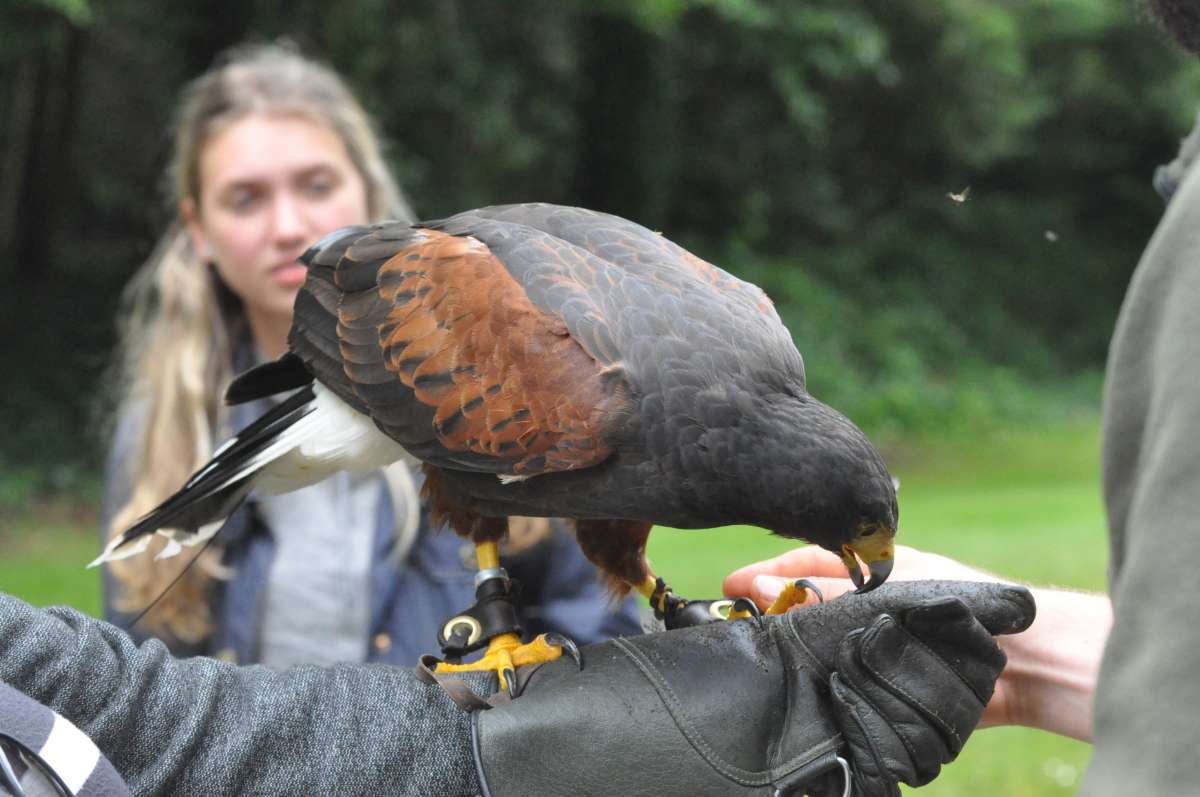 Teenage travelers at hawking falconry lesson in Wales during summer youth travel program