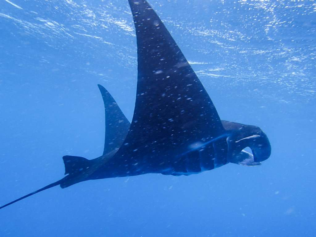 Manta ray seen by teenage travelers during scuba diving adventure in Fiji during summer youth program