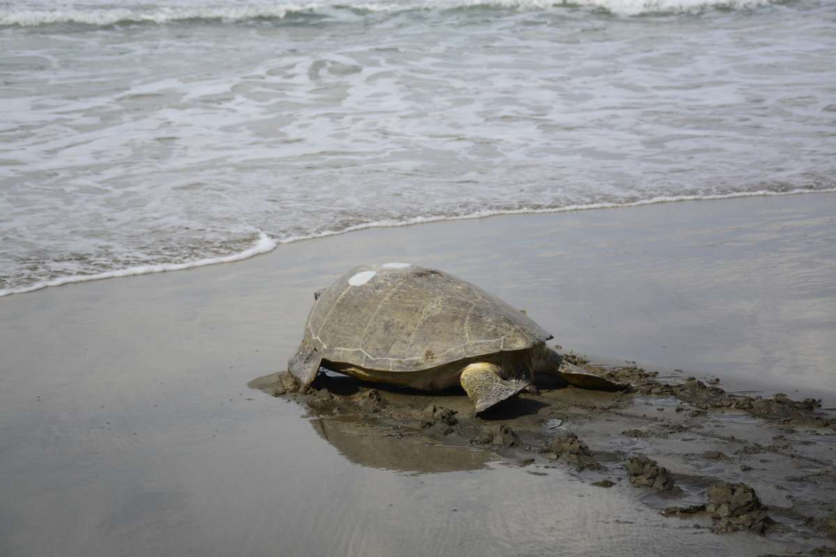 Students witness sea turtles laying their eggs on the beaches of Costa Rica on summer teen tour.