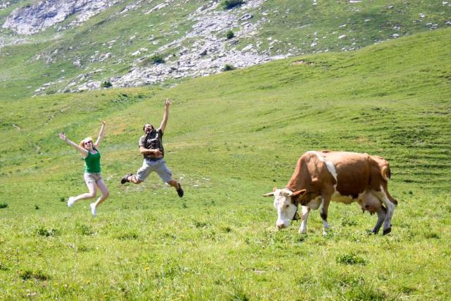 Happy teen travelers hiking through Swiss Alps with cow on summer travel program