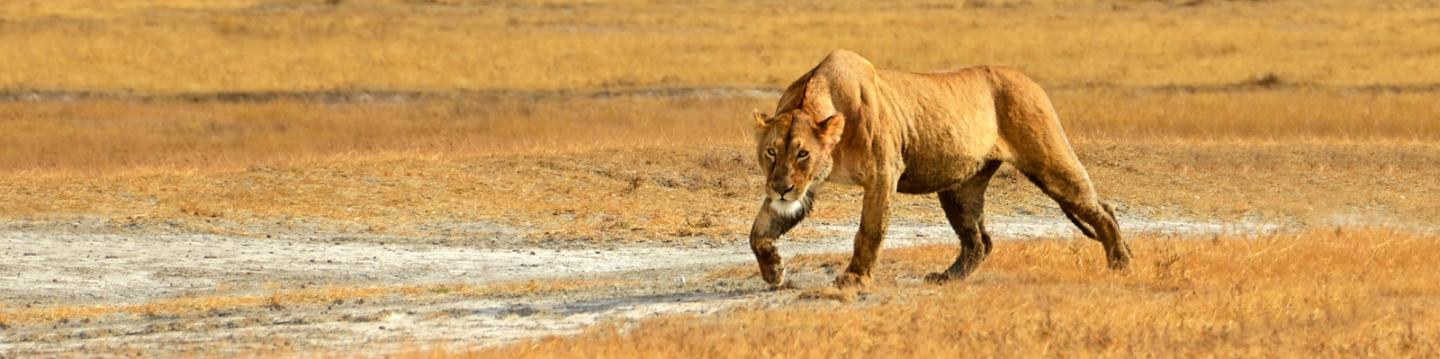 Students spot a lioness on safari in Tanzania during summer service and adventure program for teens.