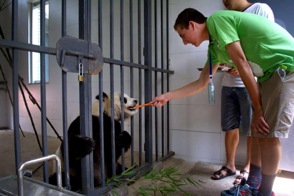 A teen feeds a panda as part of his service work on a student travel tour of China.
