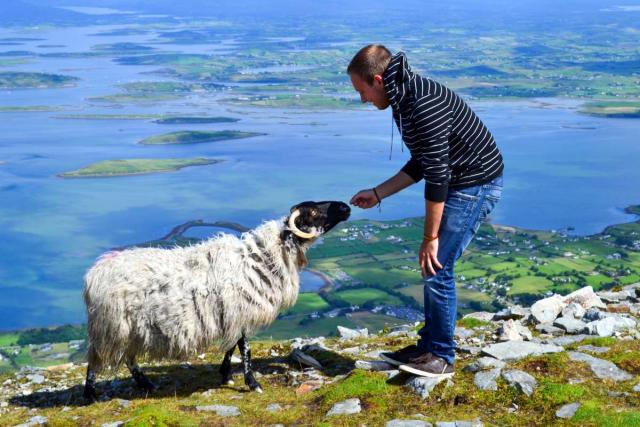 Teenage traveler feeds sheep in Ireland during summer youth travel program