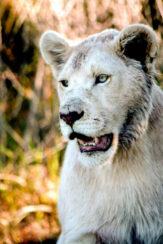 Teens encounter a white lion on safari during summer service program in South Africa.