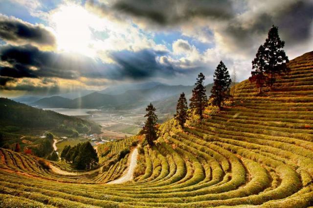View of Boseong green tea fields seen on summer youth travel program in South Korea