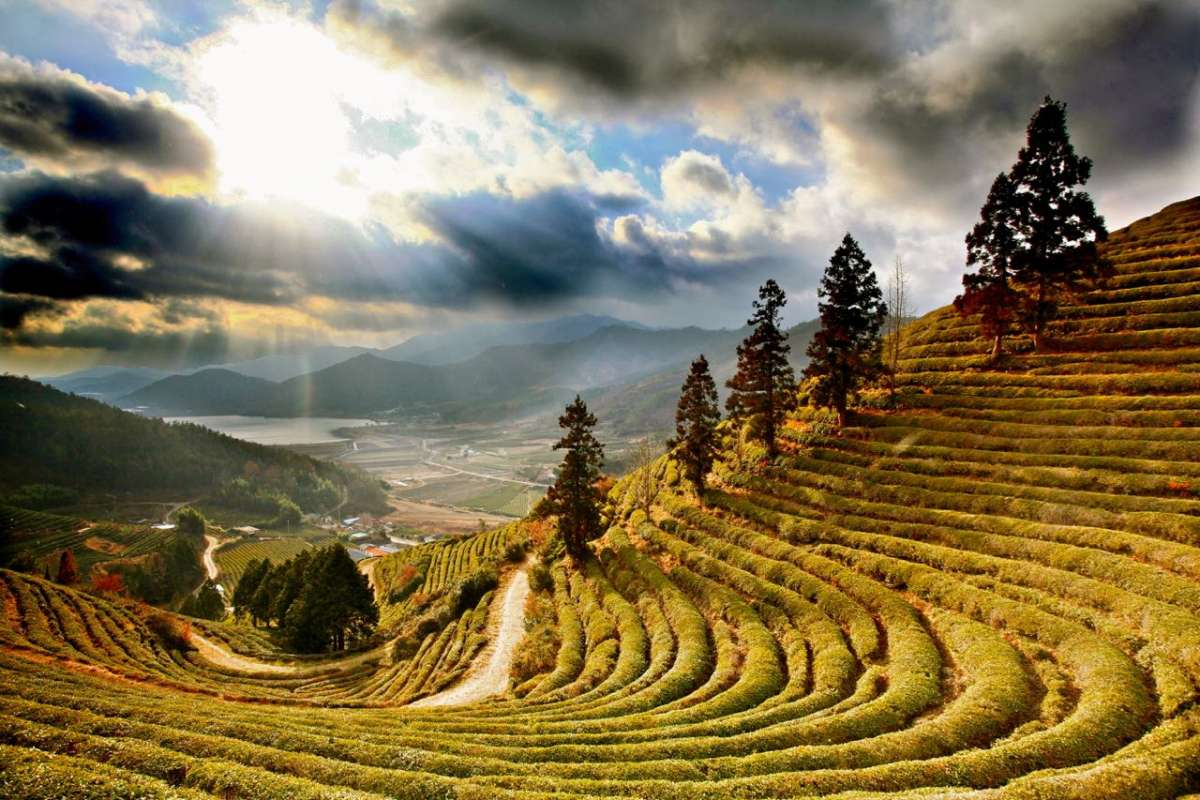 View of Boseong green tea fields seen on summer youth travel program in South Korea