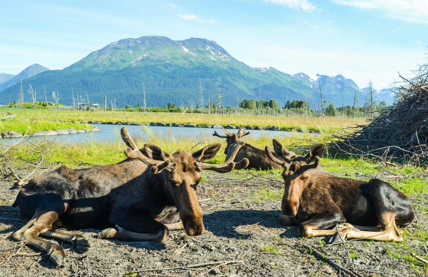Students encounter reindeer on summer adventure and service program in Alaska.