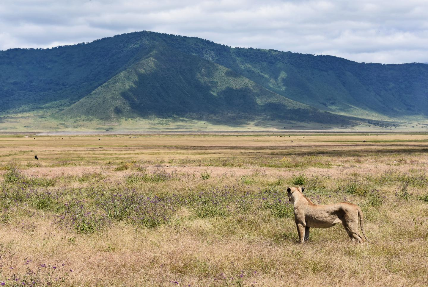 A lionness in Ngorongoro Crater
