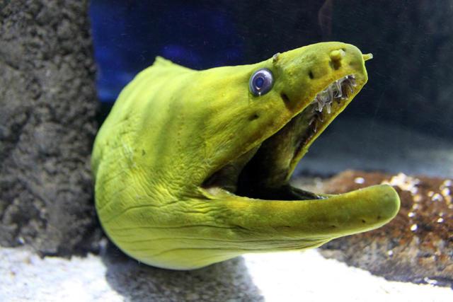 Green Morey Eel (2)
