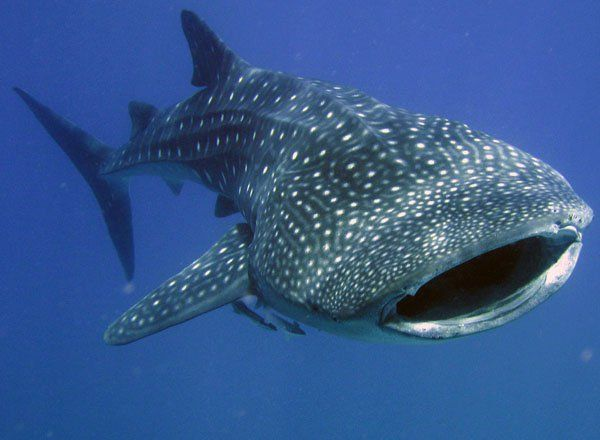 Whaleshark Happy