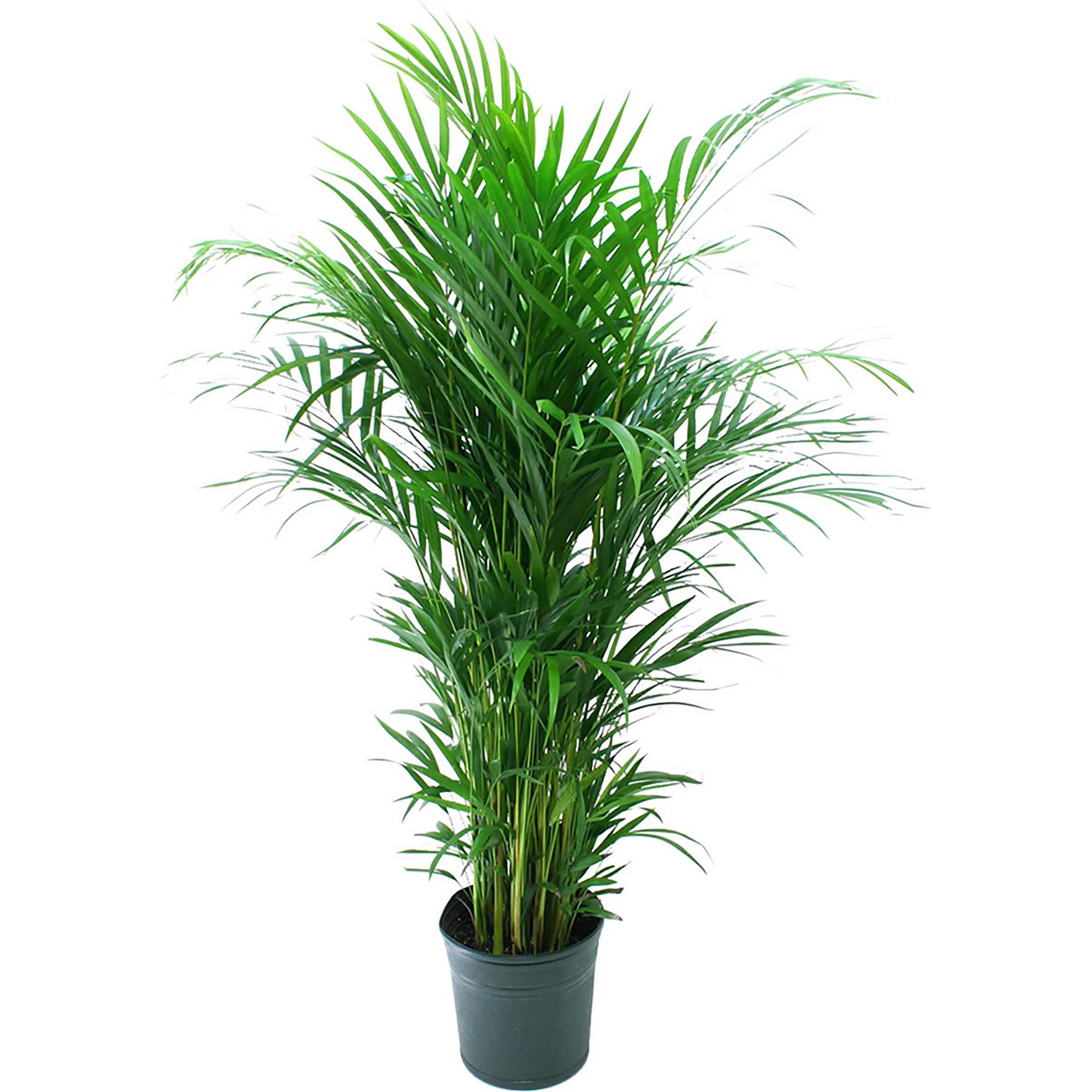 Standard Green Plant
