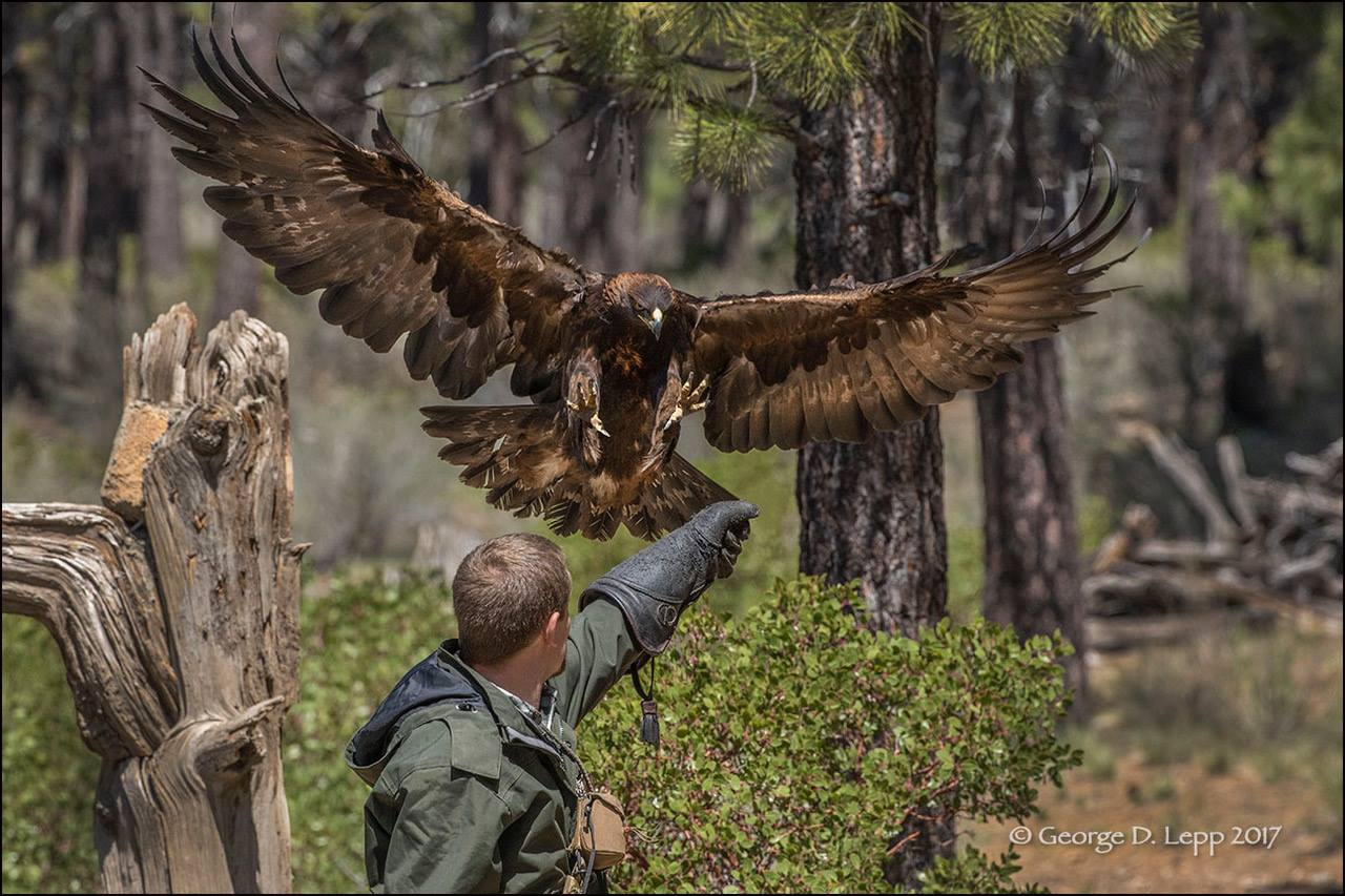 Natural History & Conservation of Golden Eagles and Other Birds of Prey
