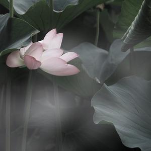 Square lotus 814529 1280